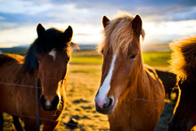 Close Up Of Horses On Farm At ...