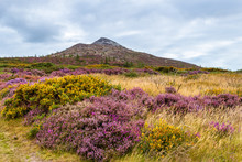Colorful Wildflowers Blooming At The Foot Of The Great Sugar Loaf Mountain, Wicklow, Ireland. Irish Hills Covered In Purple, Mauve, Pink Wild Heather And Yellow Gorse Flowers On A Summer Day.