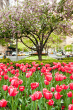 Tulips And Crab Apple Trees On...