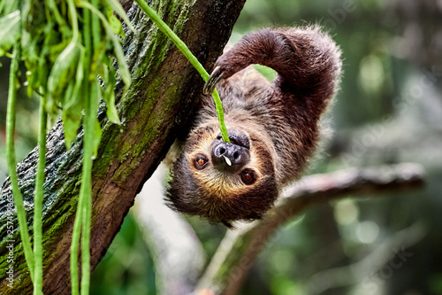 Photo sloth hanging on a tree and eating leaves