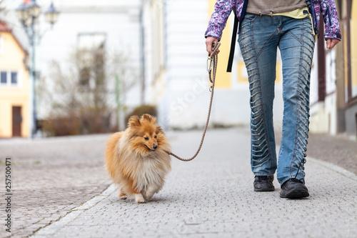 Fototapeta  A woman leads her dog on a leash