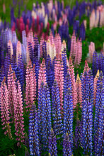 Pink And Purple Blooming Lupines