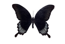 Big Butterfly With Black Wings, Isolate On White Background, Papilio Ascalaphus