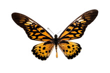 Big Butterfly With Yellow Wings, Isolate On White Background, Papilio Antimachus