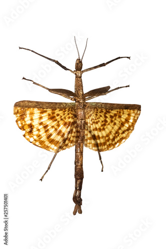 Photo  Large yellow insect as a tree branch, isolate on white background, phasma gigas