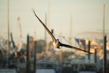 Pelican In Rocky Point, Sonora, Mexico