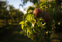 Pears On Pear Tree In Fruit Orchard, Parkdale, Oregon, USA