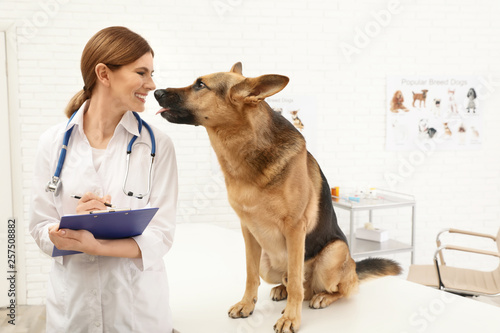fototapeta na drzwi i meble Professional veterinarian examining German Shepherd dog in clinic
