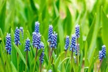 Grape Hyacinth (Muscari Armeniacum) In Spring