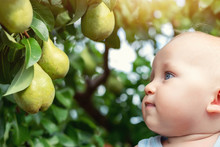 Cute Caucasian Baby Boy Picking Up Fresh Ripe Green Pear From Tree In Orchard In Bright Sunny Day. Funny Child Looking At Delicious Fruit And Want To Eat It