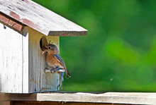 A Female Bluebird Brings Sticks To Her Nest, Getting Them Through The Hole.