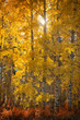 Aspen in autumn near the town of Sisters, Central Oregon,USA