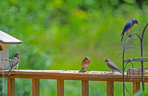 A male Bluebird teaches a fledgling how to eat mealworms. Fototapete