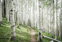 Aspen Tree Forest, Lockett Meadow, Flagstaff, Arizona, USA