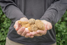 Close Up Of Man Holding Morel ...