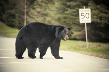 A Large Black Bear Crosses A Paved Road Near A Speed Limit Sign.