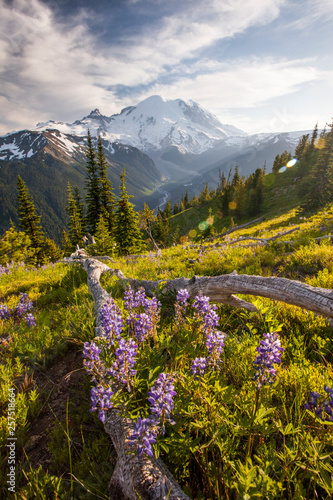 Wildflowers in Mount Ranier National Park - 257518664