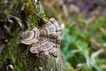 A Trametes Versicolor Growing On Dead Wood