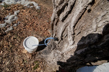 Maple Tree Sap Tap From Above