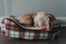 Small Dog Sleeping In Christmas Bed