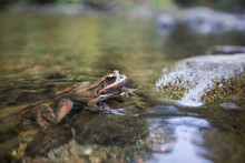 Northern Red-legged Frog (Rana...