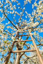 Ladder On Blossoming Cherry Tr...
