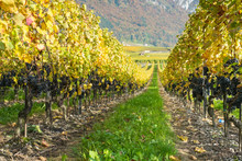 Pinot Noir Grapes On Vine Before Harvest