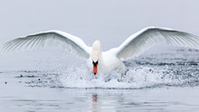 Beautiful Swan Spreading Wings On Geneva Lake