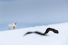 Svalbard Reindeer (Rangifer Ta...