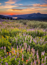 Field Of Wildflowers At Sunset On Carson Pass, High Sierra California