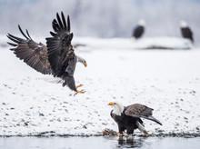 Two Bald Eagles?(Haliaeetus?le...
