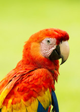Portrait Of Scarlet Macaw Parr...