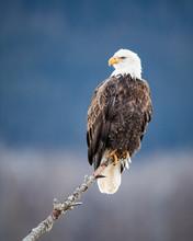 Bald Eagle?(Haliaeetus?leucocephalus)?perching On Branch
