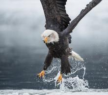 Bald Eagle?(Haliaeetus?leucoce...