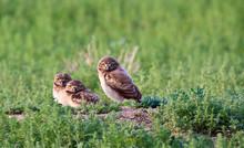 Three Burrowing Owls (Athene C...