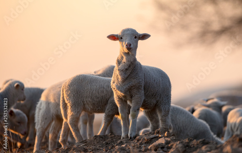 Spoed Fotobehang Schapen cute little lamb on fresh spring green meadow during sunrise