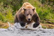 Alaska Peninsula Brown Bear (Ursus Arctos Horribilis) Hunting For Salmon, Katmai National Park, Alaska, USA