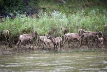 Bighorn Sheep (Ovis Canadensis) On Bank Of Green River, Utah, USA