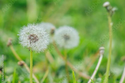 Photo  dandelion in grass