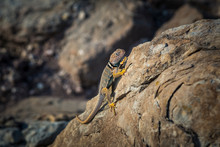 Collared Lizard On Rock, Green River, Utah, USA