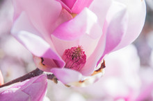 Beautiful Magnolia Bloom On The Branch In Close Up View