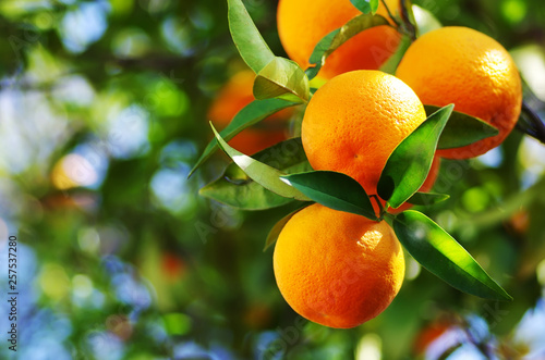 Fotografie, Tablou oranges branch with green leaves on tree