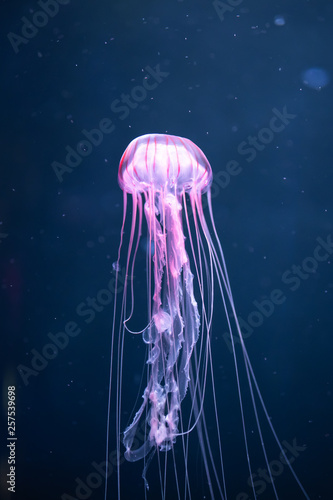 Photo  glowing jellyfish chrysaora pacifica underwater