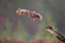 Red Squirrel Sciurus Vulgaris,...
