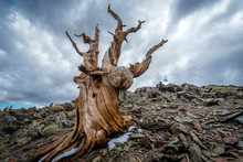 Storm Clouds Over Gnarled Tree