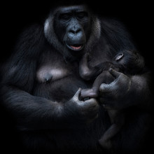 Female Gorilla Nursing Young