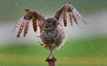 Burrowing Owl Balancing On Post