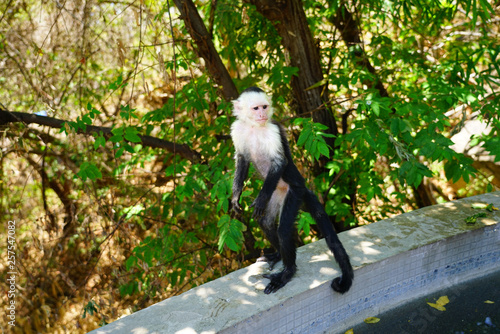 Fototapeta A white-headed capuchin monkey (cebus capucinus) by the pool in Peninsula Papaga