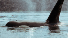 A Large Male Orca Surfaces Very Close With Mist From Its Blowhole.