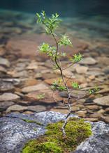 New Tree Growing On Rock